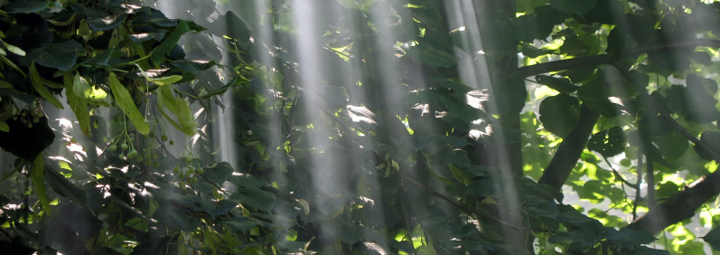 Rays of light through mist and trees